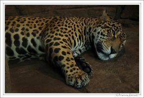Jaguar sleepytime by oOBrieOo