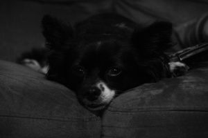 the little black and white dog by illidanRage