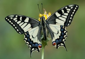 Papilio machaon by o2beat