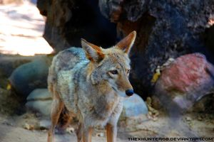 Photo Fridays- Coyote by TheXHunter08