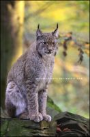 Autumn Lynx by Tiefenschaerfe