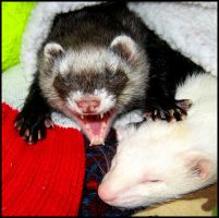A ferrets life for me by LarissaAllen