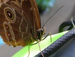 Blue Morpho Butterfly Up Close by TheTellerofStories