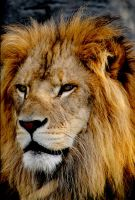Lion 4 by Art-Photo
