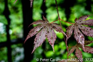 Wet leaves in Canada by Caramanos2000