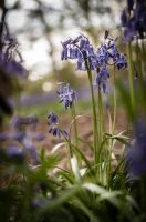 Lonely Bluebells by waggysue