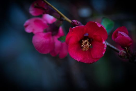 Quince by pinestater234