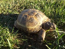 Tortoise Profile: Darwin by riverTurtle790