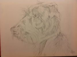WIP German Wirehaired Pointer by SheenaBeresford