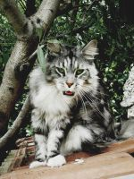...My Maine Coon.... by Flore-stock