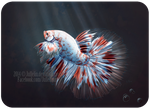 The Koi by Jullelin