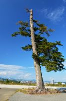 A pine tree at Aoba Castle by TFuruhashii