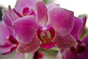 Orchid by izoard781