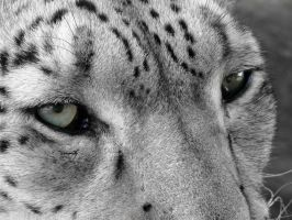 Profile of a Snow Leopard II by HeWhoWalksWithTigers