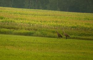 Sand Hill Cranes August - 2014 - 16 - 2 by toshema