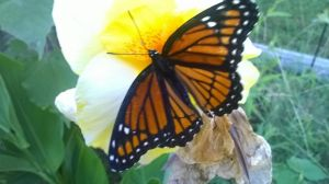 A Monarch butterfly by CL15
