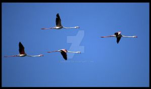 Flight of the Greater Flamingo by sharan