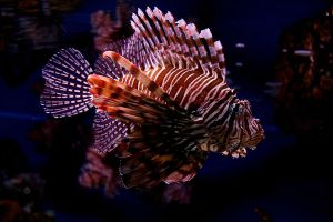 Lionfish by dpierce1313