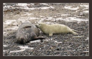 Mother seal and cub by Tacimur