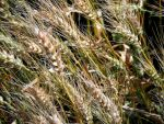Wheat by mapletree81