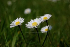 A lawn of daisies by umboody