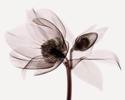 Helleborus X-ray 2 by coopr