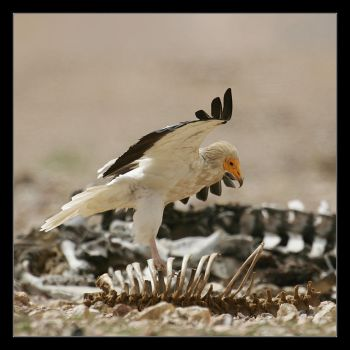 Egyptian Vulture by invisiblewl