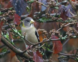 Evening Grosbeak Female in Witch Hazel by swashbuckler
