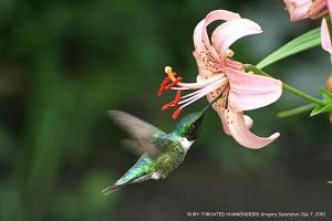 Ruby-throated Hummingbird 2010 by UffdaGreg
