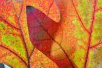 Two Red Leaves by Runner1028