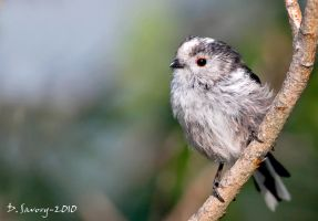 Baby long tailed tit by Slinky-2012
