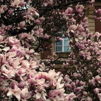 Magnolia Window by evionn