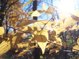 Sun Soaked Leaves by jackaltooth