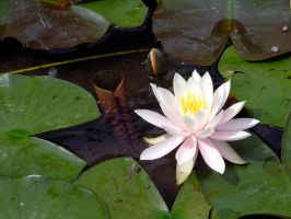 .stock: water lily. by guavon-stock