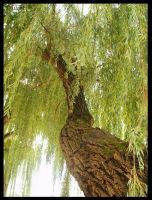 Willow tree by Miouk
