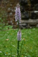 DSC 018 Common Spotted Orchid 2 by wintersmagicstock