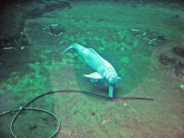 Amazon River Dolphin by JollyStock