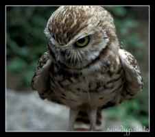 Little Owl by sandyprints