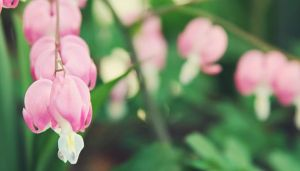 Bleeding Hearts by JaciJaci