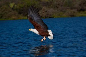 Fish Eagle 5 by catman-suha