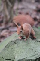 Red Squirrel II by Citron--Vert