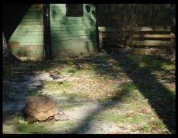 Lone Tortoise by SPF2000000