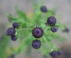 Little Thistles by entropy462