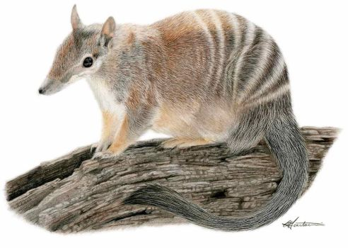 Numbat by CSIllustrator