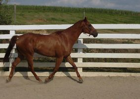 stock - horse26 by oldpost-stock