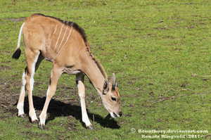 Eland Calf by Renathory