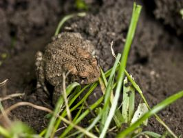toad in the yard by ProdigalPhreak