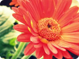 Orange Flower by MariahLynnPhotograph