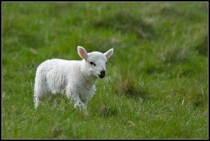 Spring Lamb by nitsch