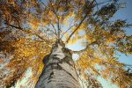 Majestic birch by RobinHedberg